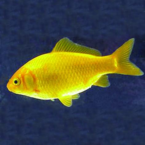bodem voor goudvis aquarium